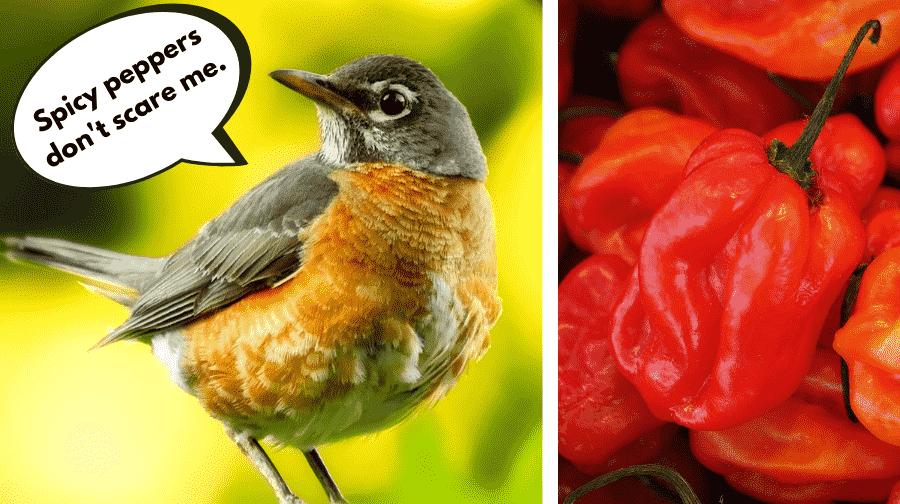 Birds vs Spicy Peppers