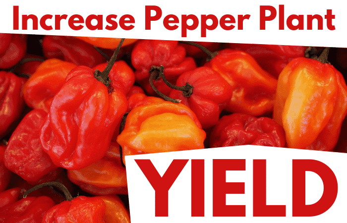 Pepper Plant Yield