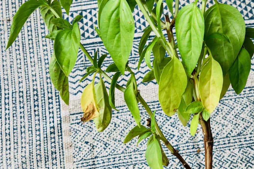 Basil Leaves Yellow