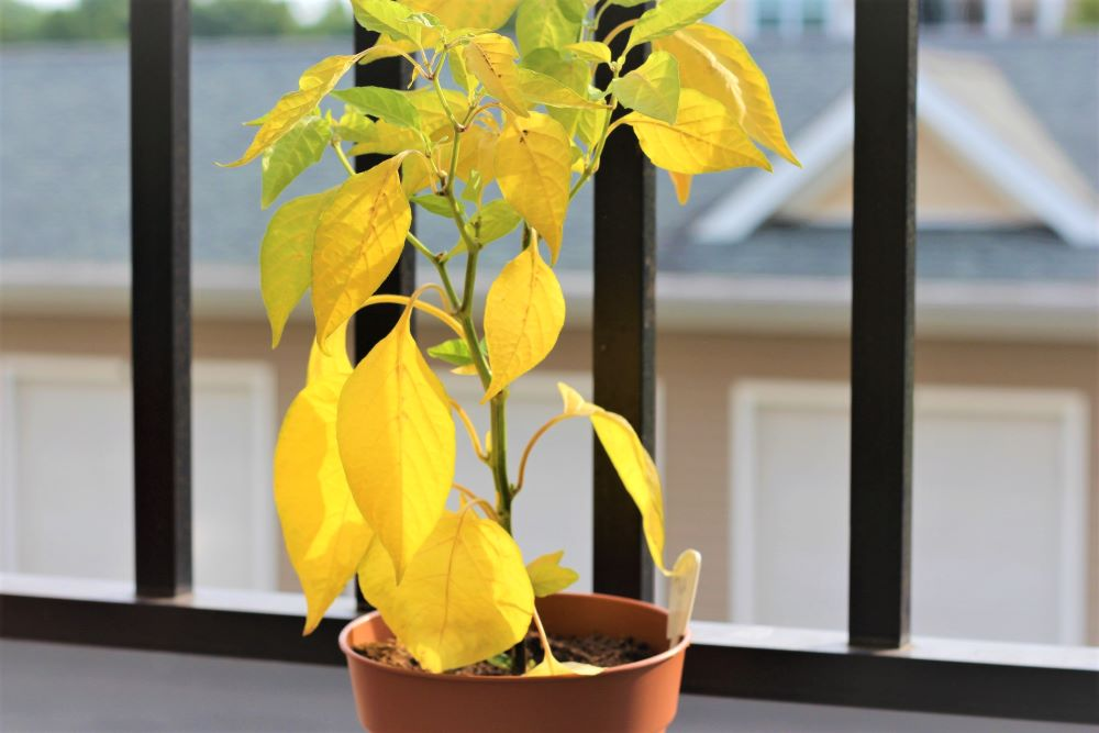 Yellow Pepper Plant Leaves
