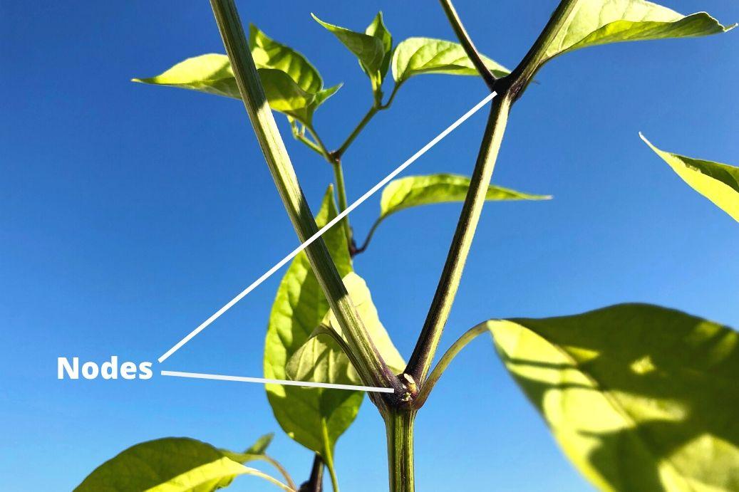 Nodes On Pepper Plant Diagram
