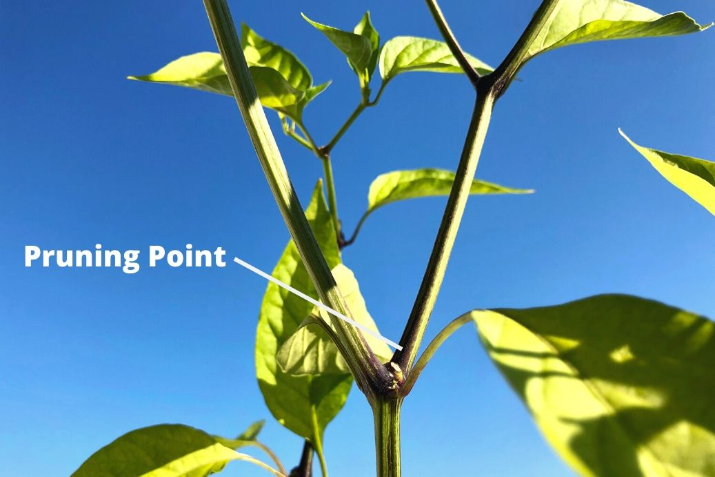 Where To Prune Pepper Plants