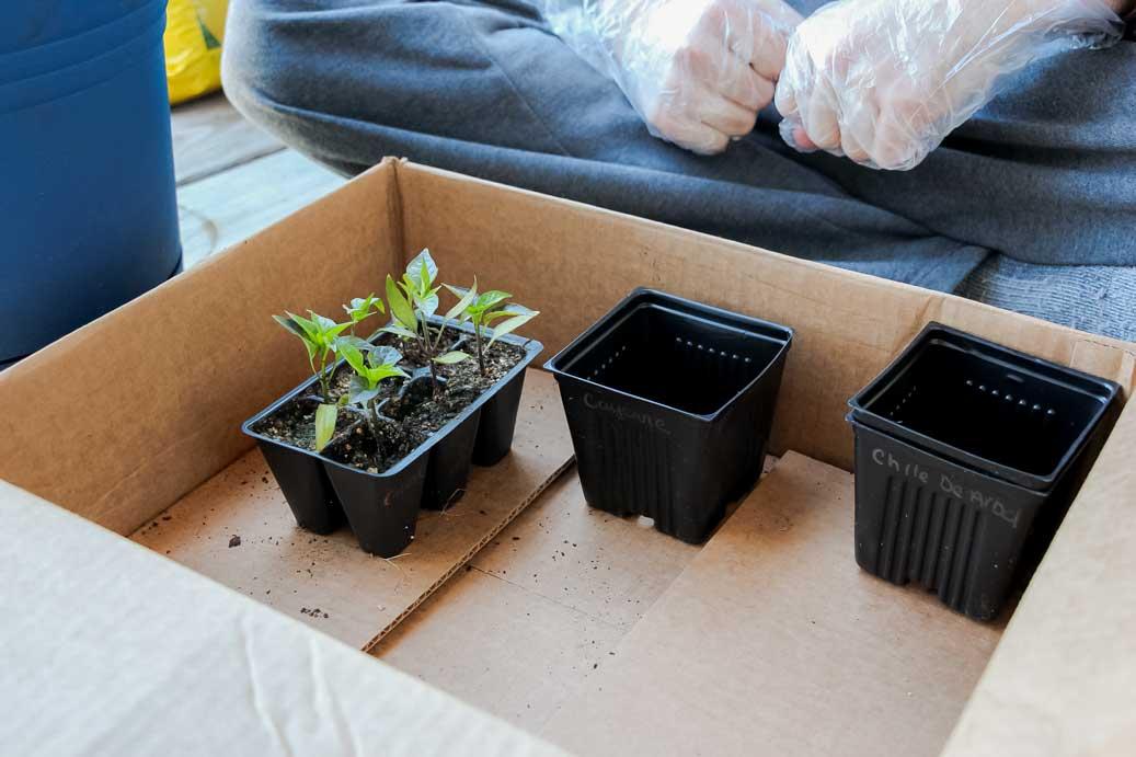 Transplanting Jalapeno Peppers