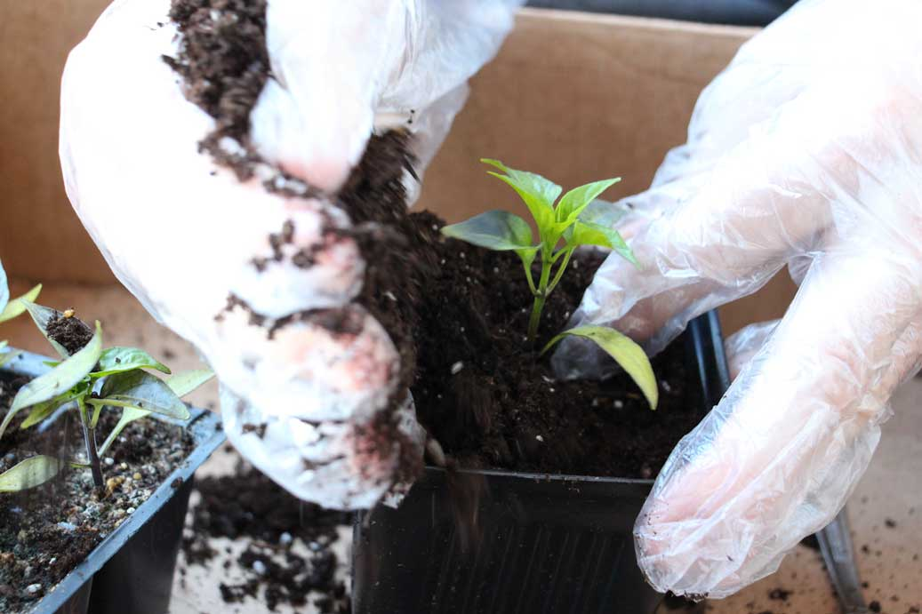 Transplanting Peppers