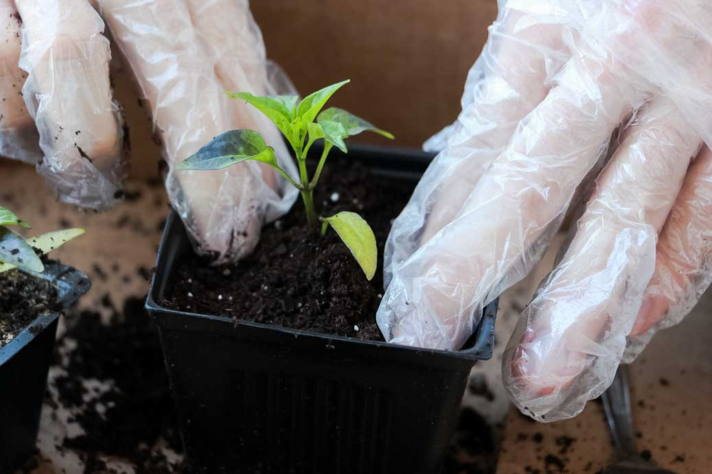 How To Transplant Pepper Plants