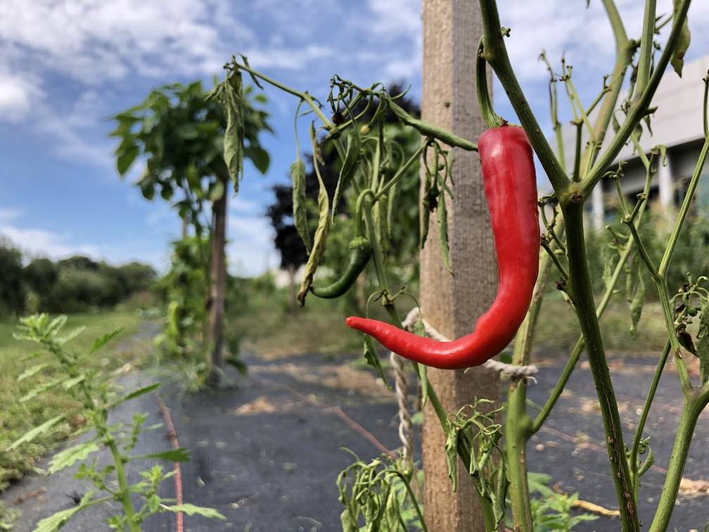 Cayenne Pepper on plant
