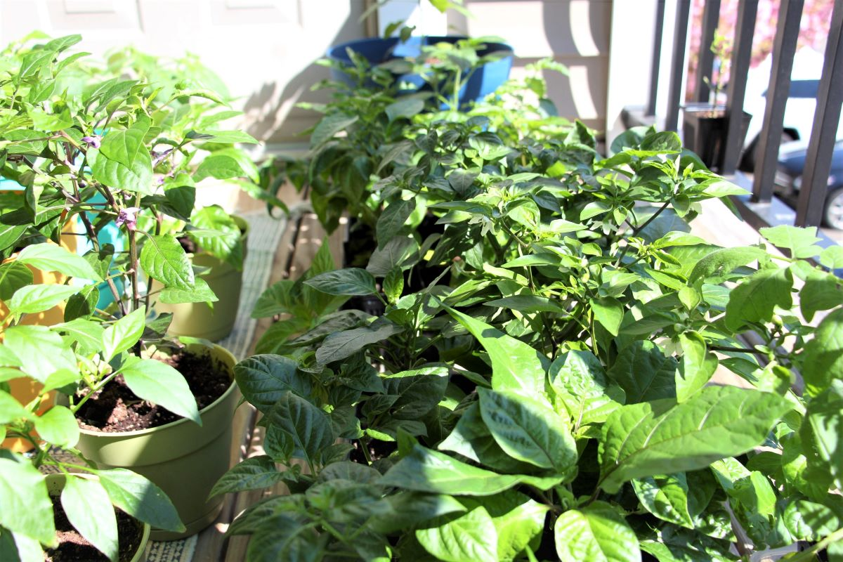Hardening Off Pepper Plants