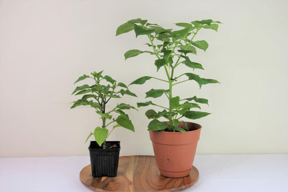 Pepper Plant Pot Sizes