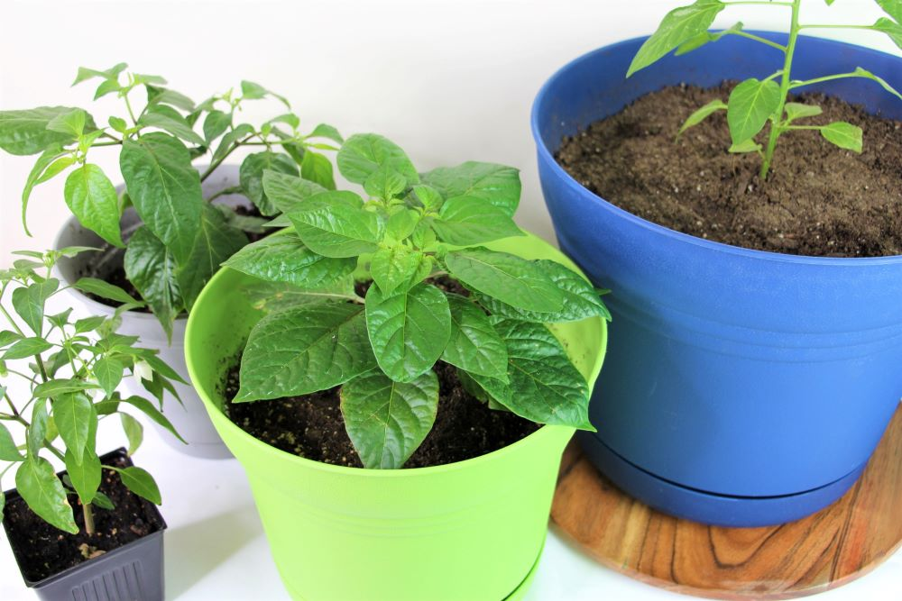 Pepper Planter Pot Sizes