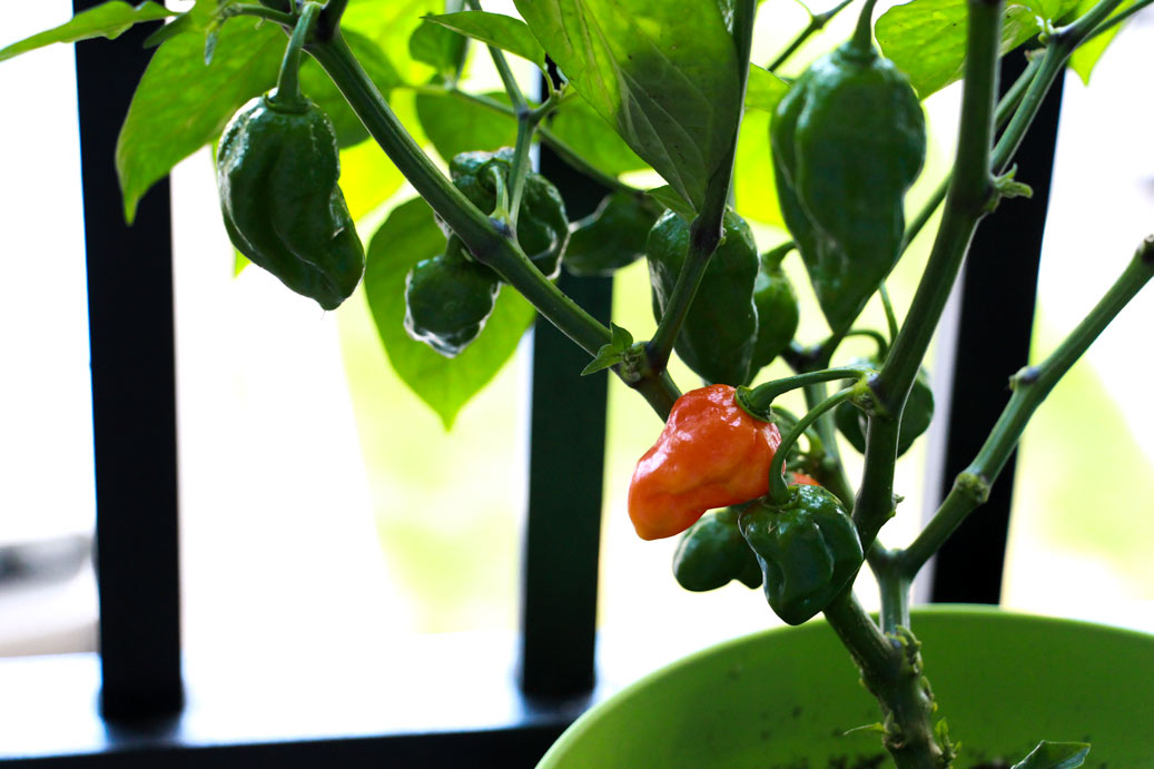 When To Pick Ghost Peppers
