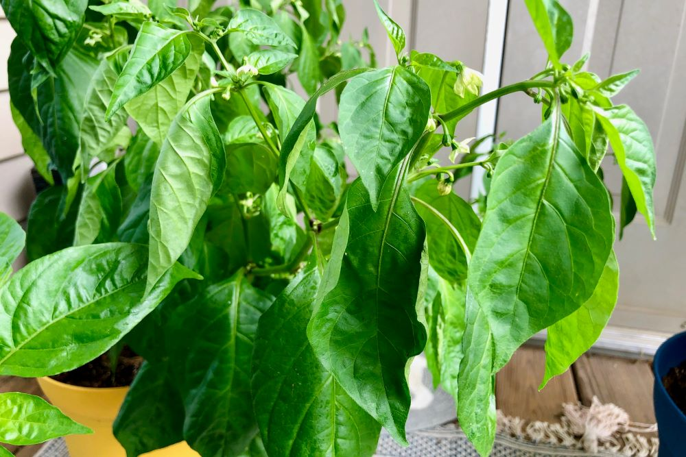 Wilting Pepper Plant Leaves