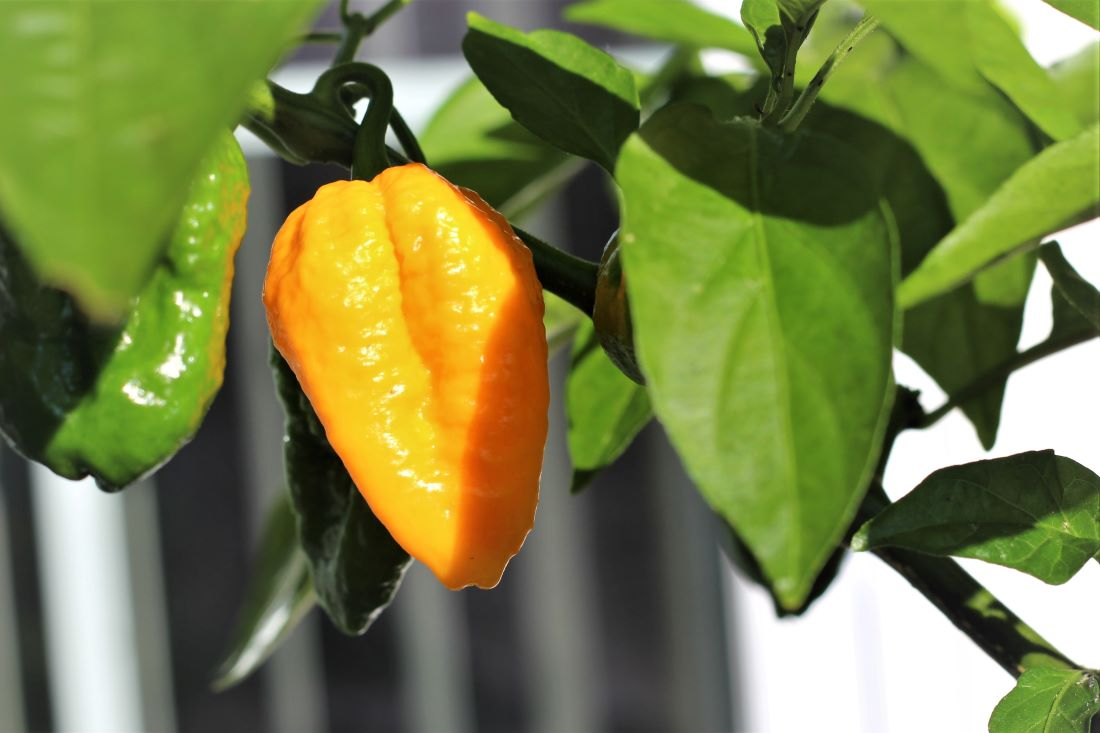 Yellow Naga Ghost Pepper