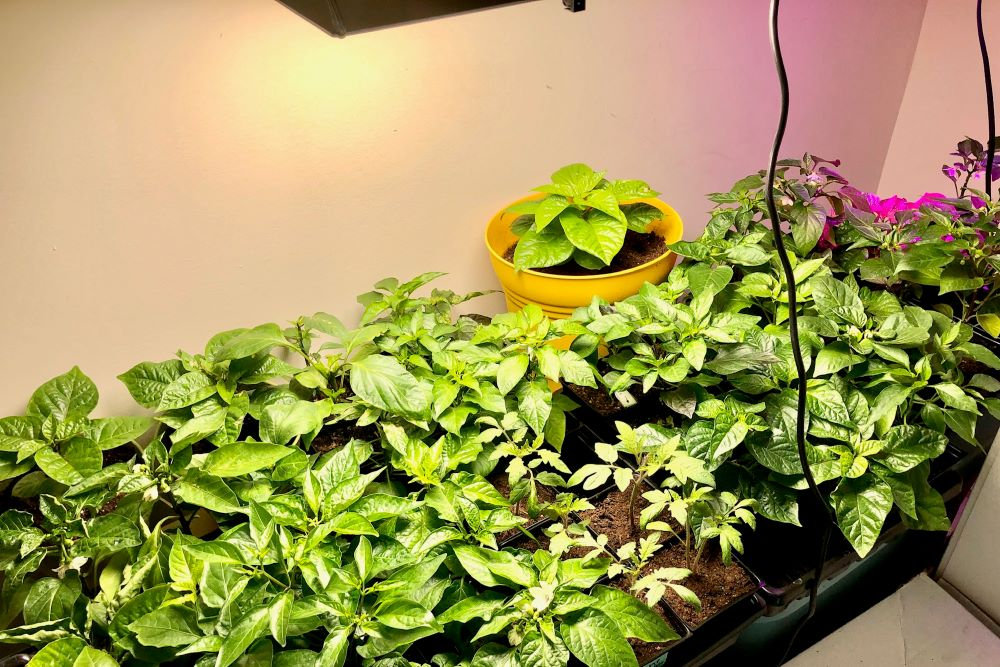 Grow Light For Peppers
