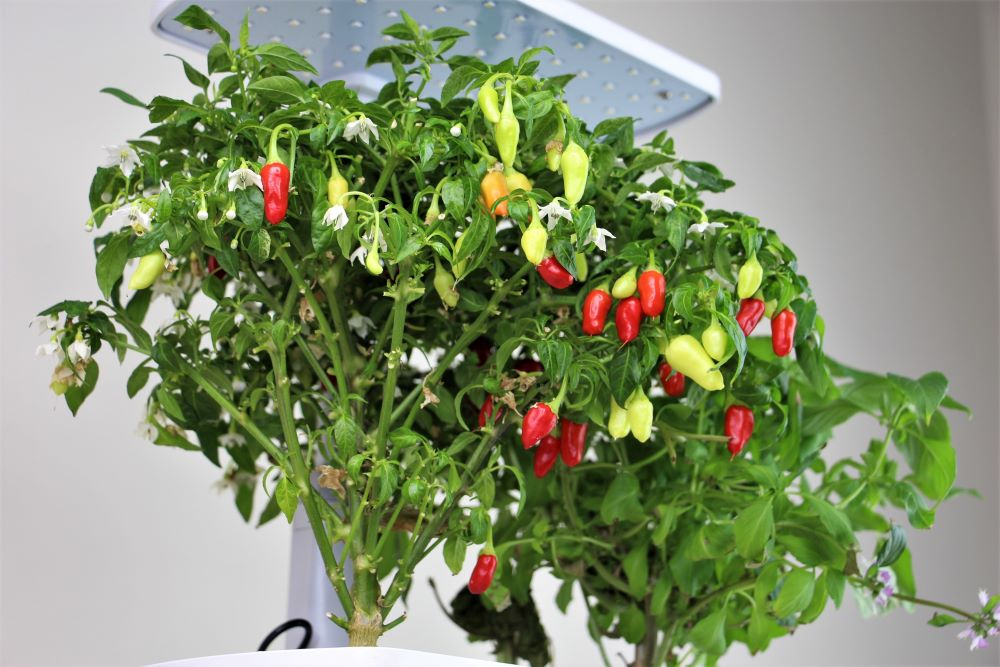 AeroGarden Peppers