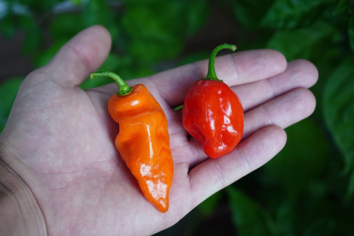 Habanada Pepper and Habanero
