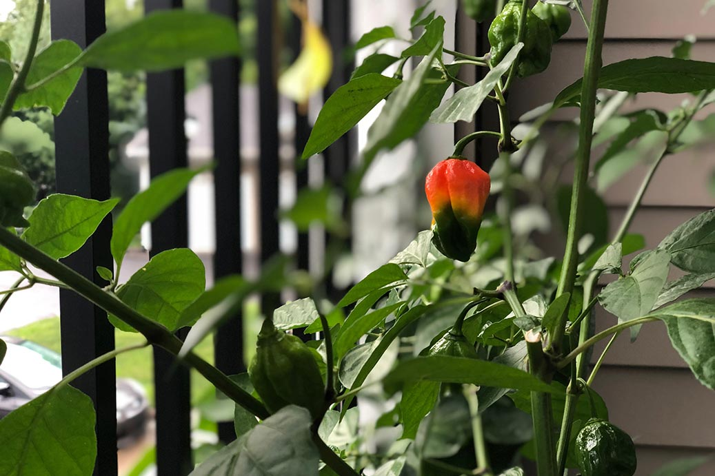 Colorful Ghost Pepper Growing