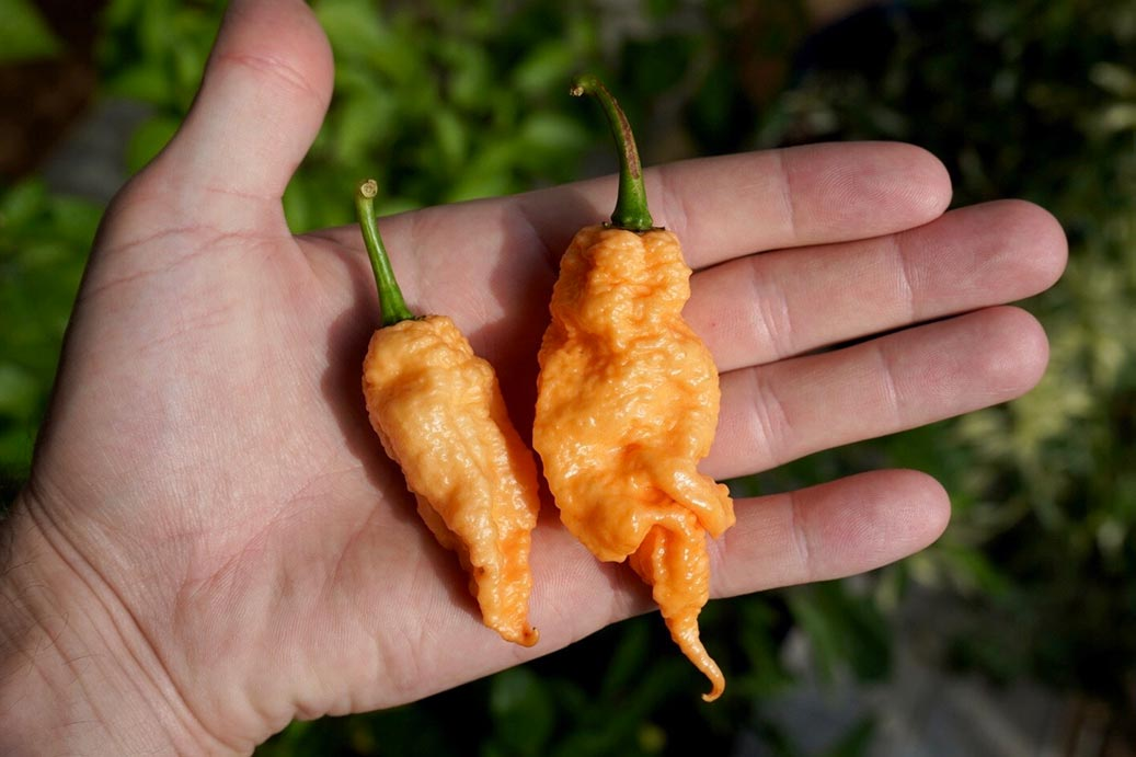 Jay's Peach Ghost Scorpion Peppers