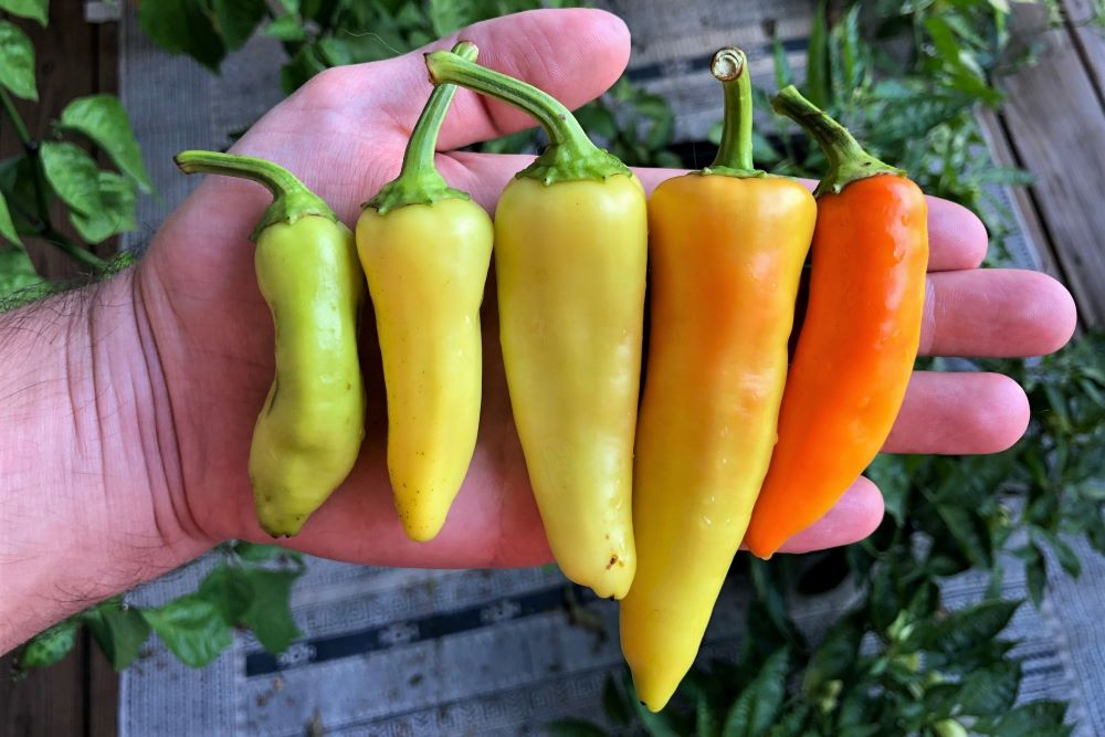 Banana Pepper - various colors