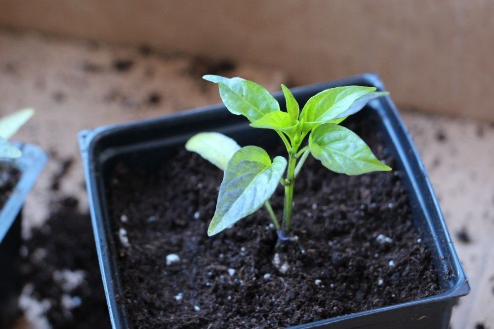 Pepper Plant - Adolescent Stage