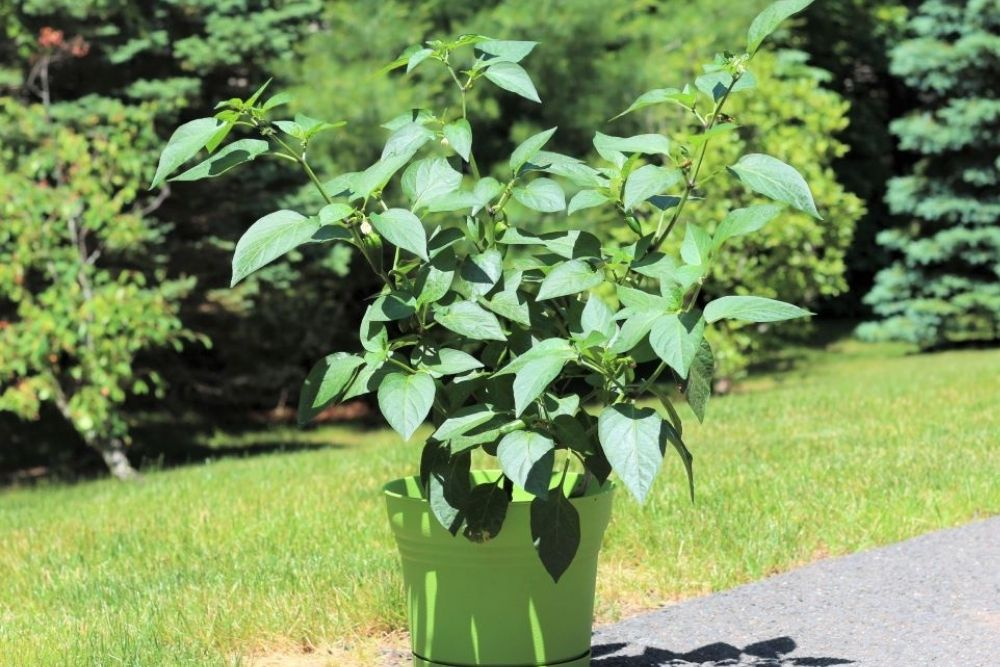 Jalapeno Plant Stages - Mature Plant