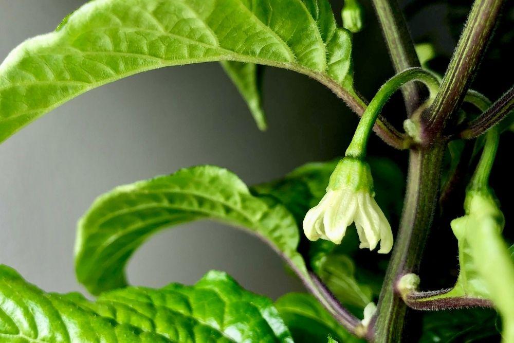 Pepper plant flowering