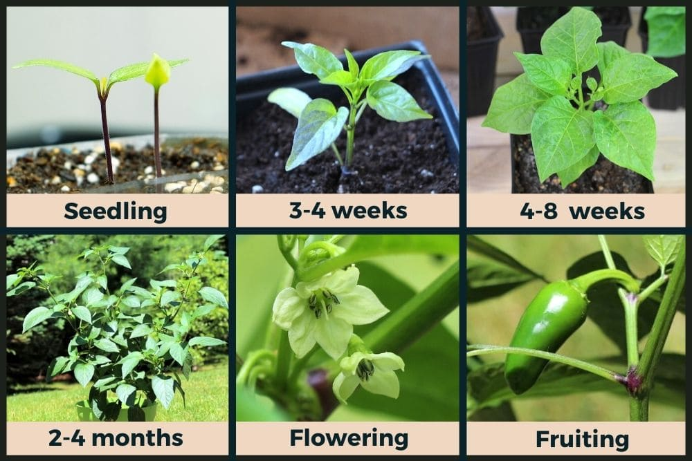 Jalapeno plant stages of growth.