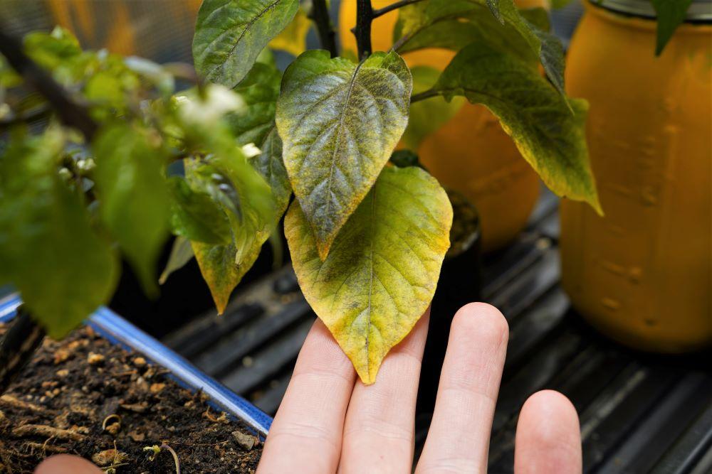 Pepper plant leaf yellow