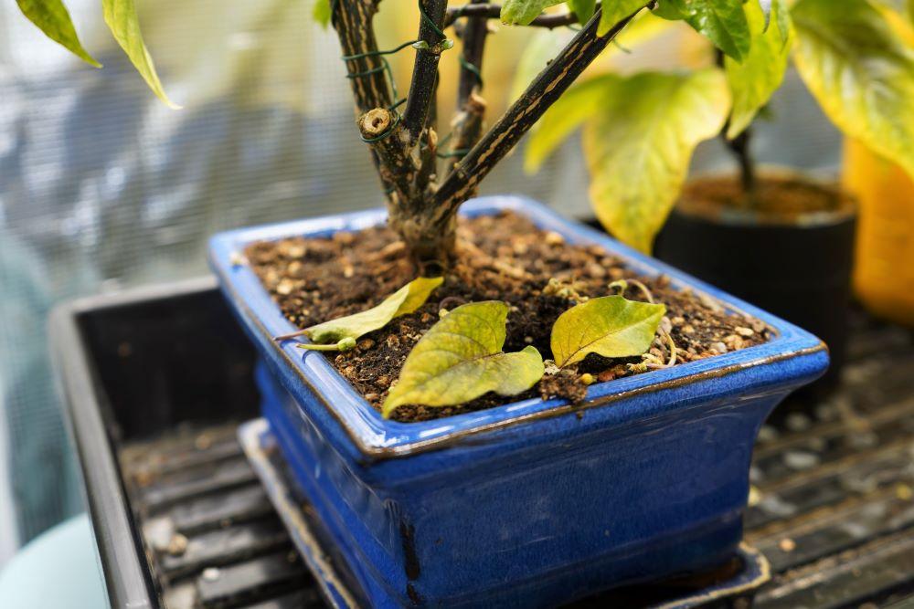 Pepper plant leaves falling off