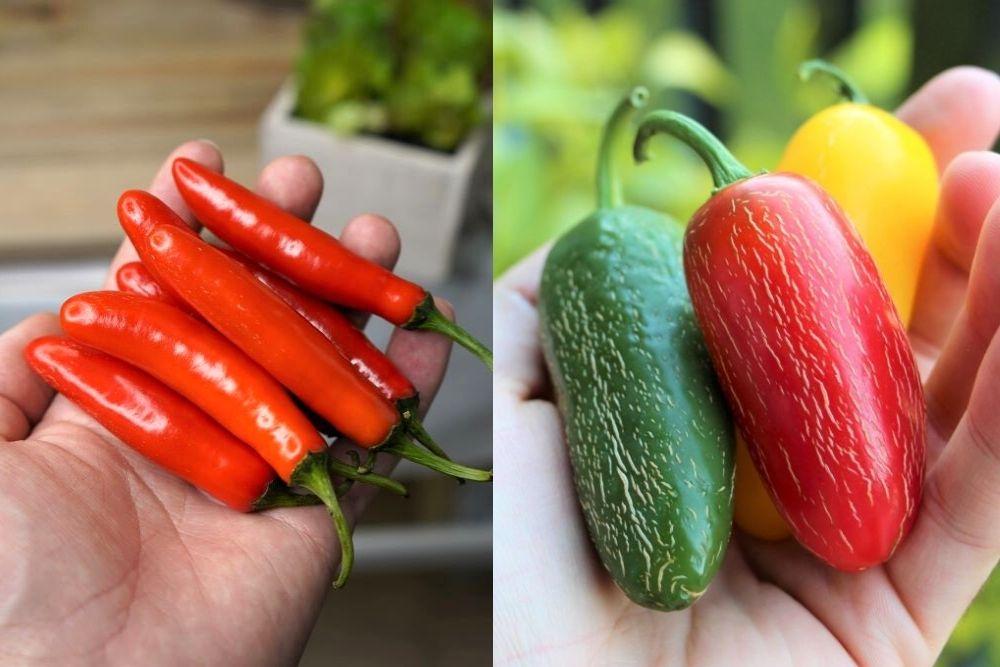 Serrano vs Jalapeno peppers