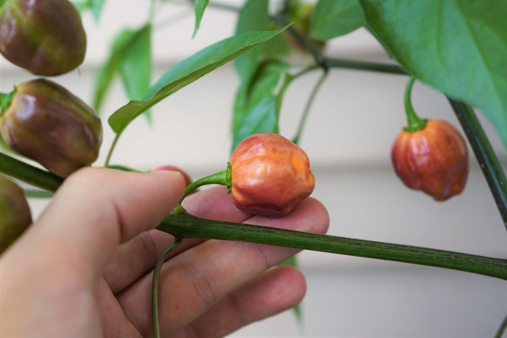 CGN 21500 pepper on plant