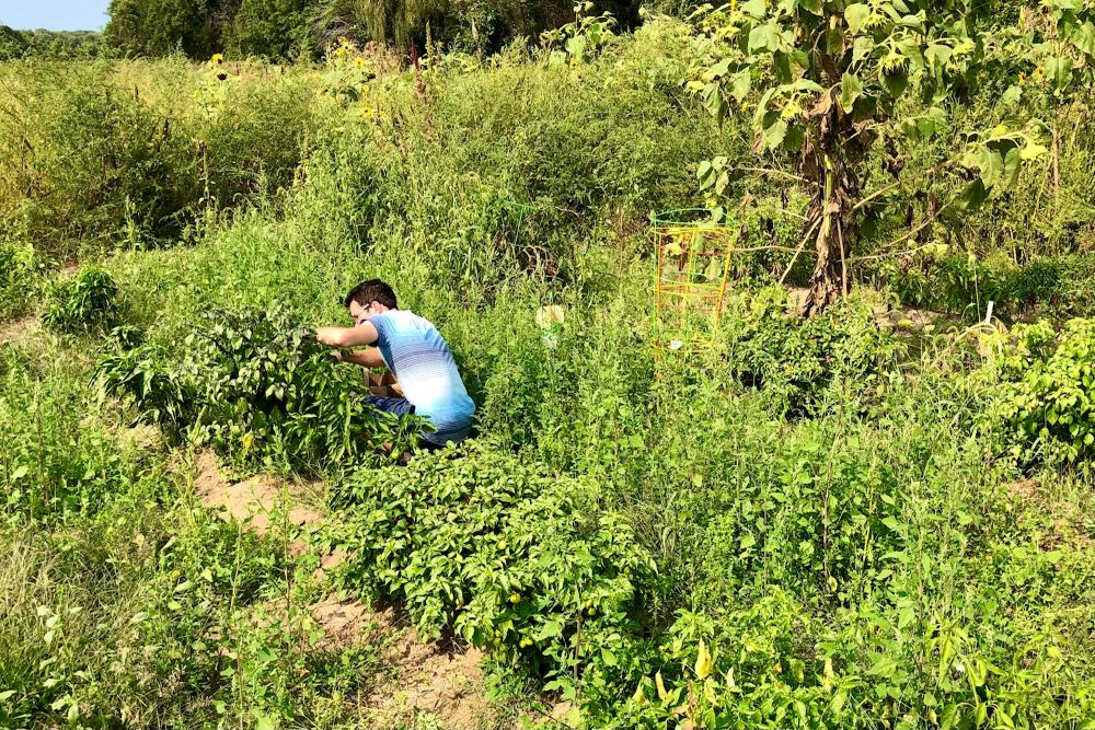 Calvin in the pepper field