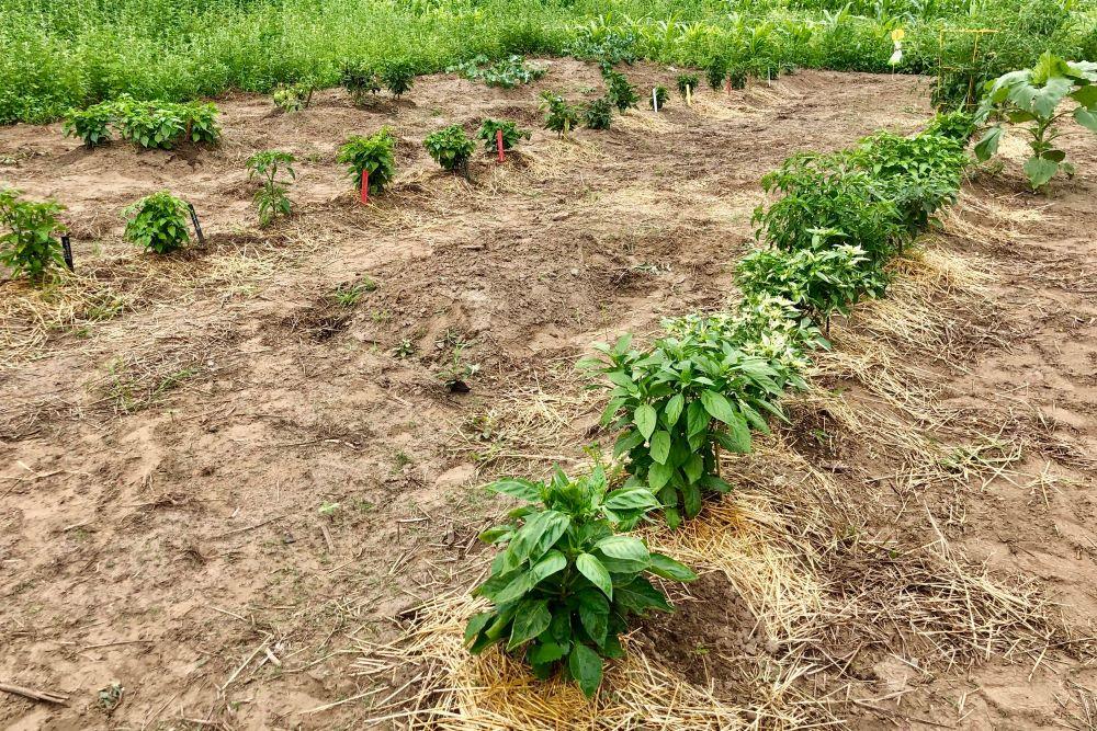 Pepper garden 2020