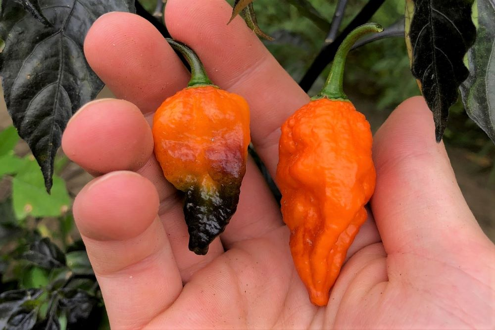 Black Panther Peppers