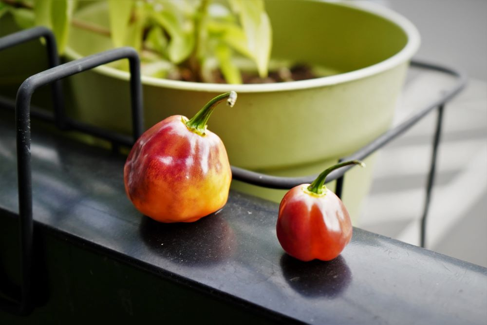 CGN 21500 peppers