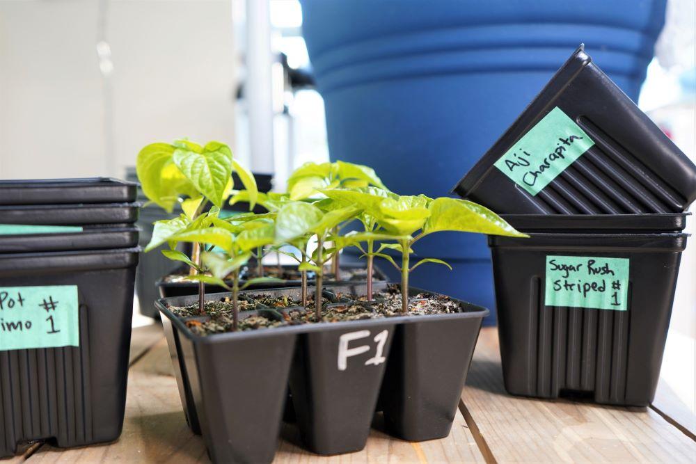 Labeling 3 inch pots for transplanting
