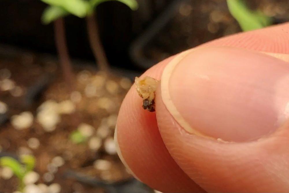 Seed coat softened