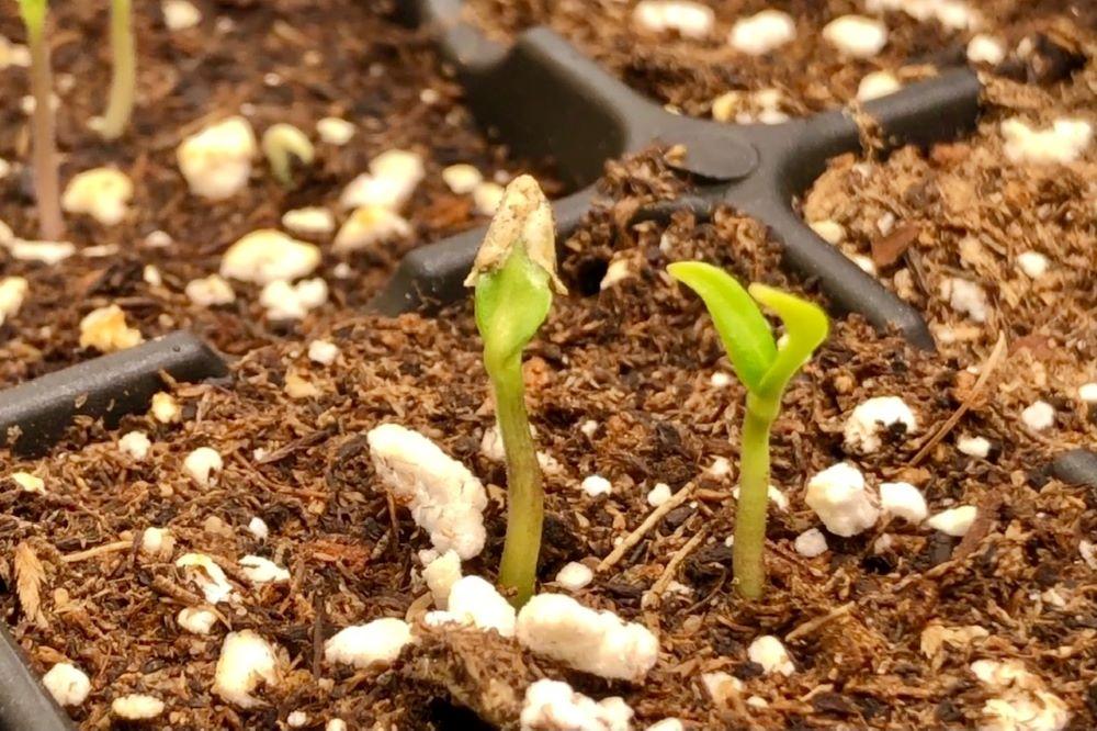 Seed coat stuck on seedling