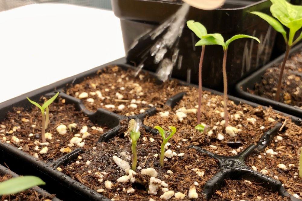 Spritzing seed coat stuck on seedling