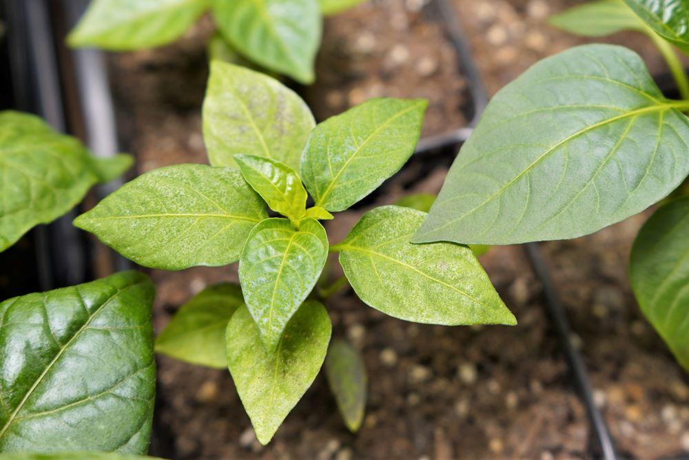 Edema on small pepper plant
