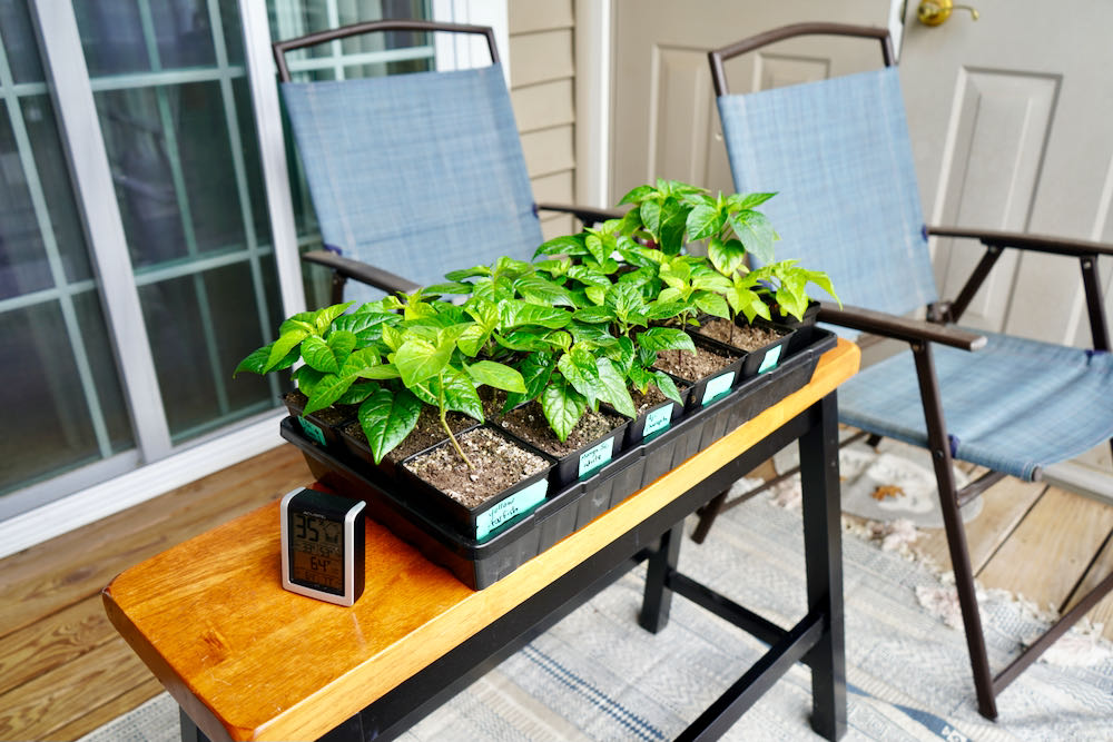 Hardening off pepper plants outdoors