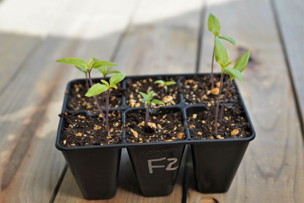 Pepper seedlings in seed cell tray