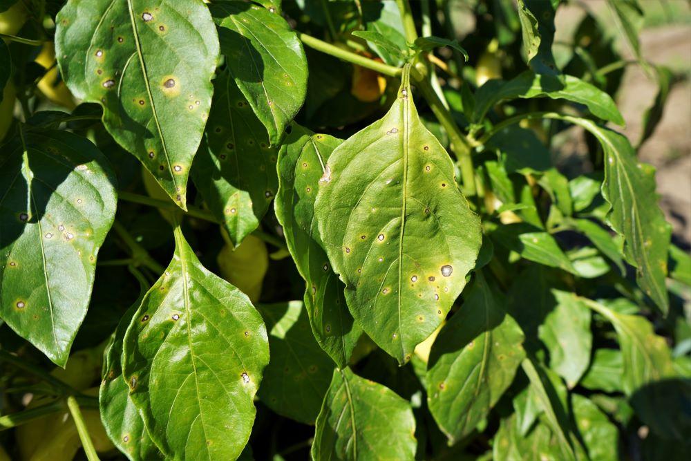 White spots on pepper leaves