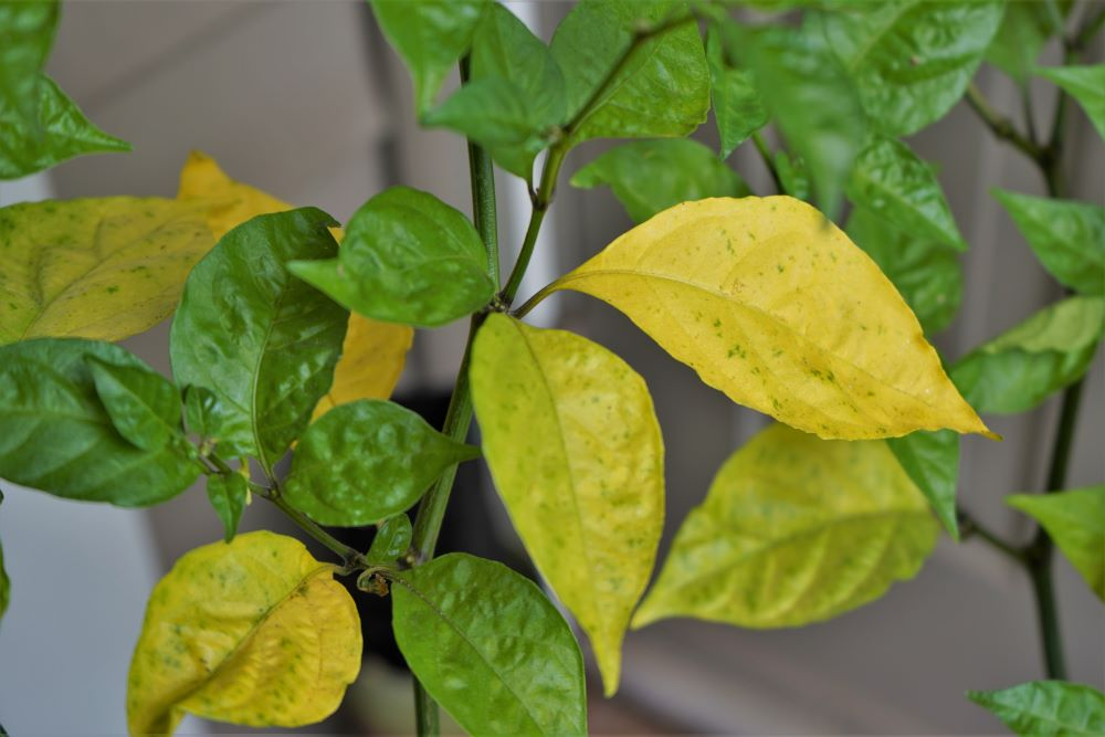 Yellow Pepper Leaves