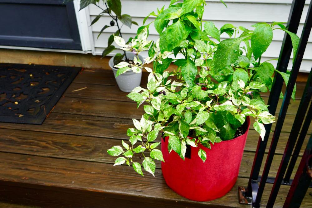 Ornamental peppers in pot