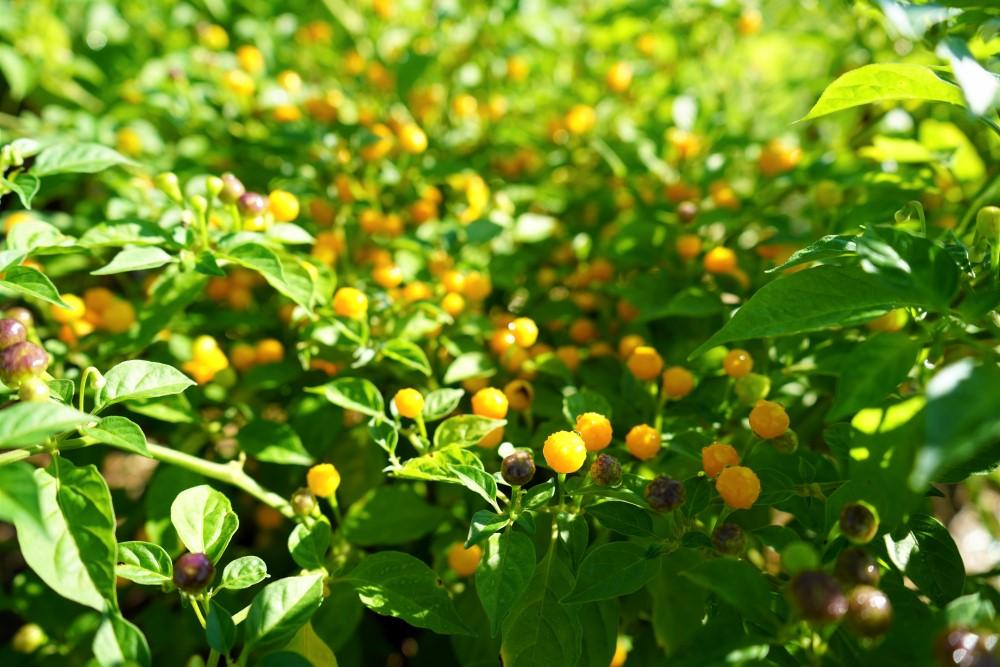 Aji Charapita peppers on plant