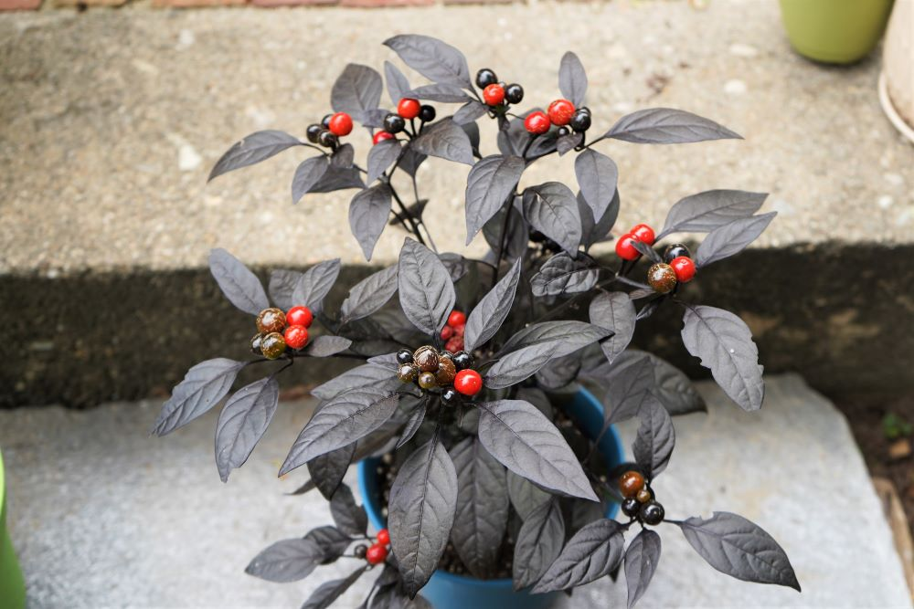 Black pearl pepper plant with ripe pods