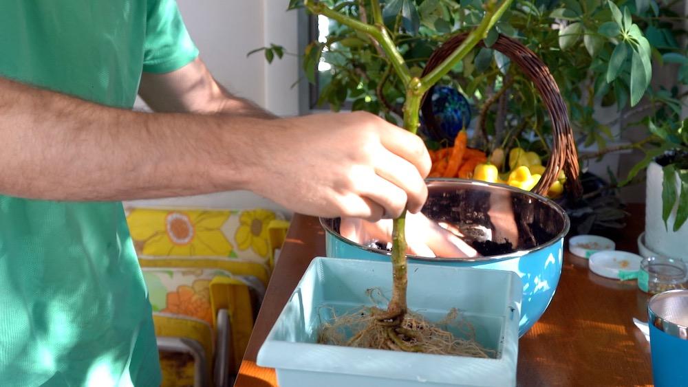 Adding soil for overwintering pepper