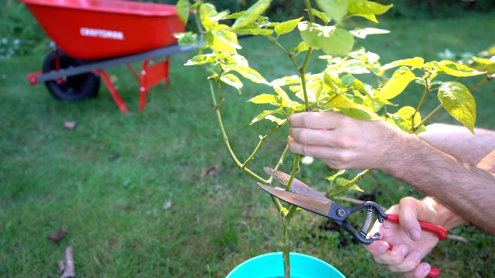 Pruning pepper for overwintering