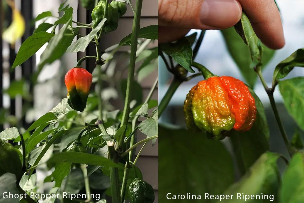 Ghost Pepper vs. Carolina Reaper Ripening