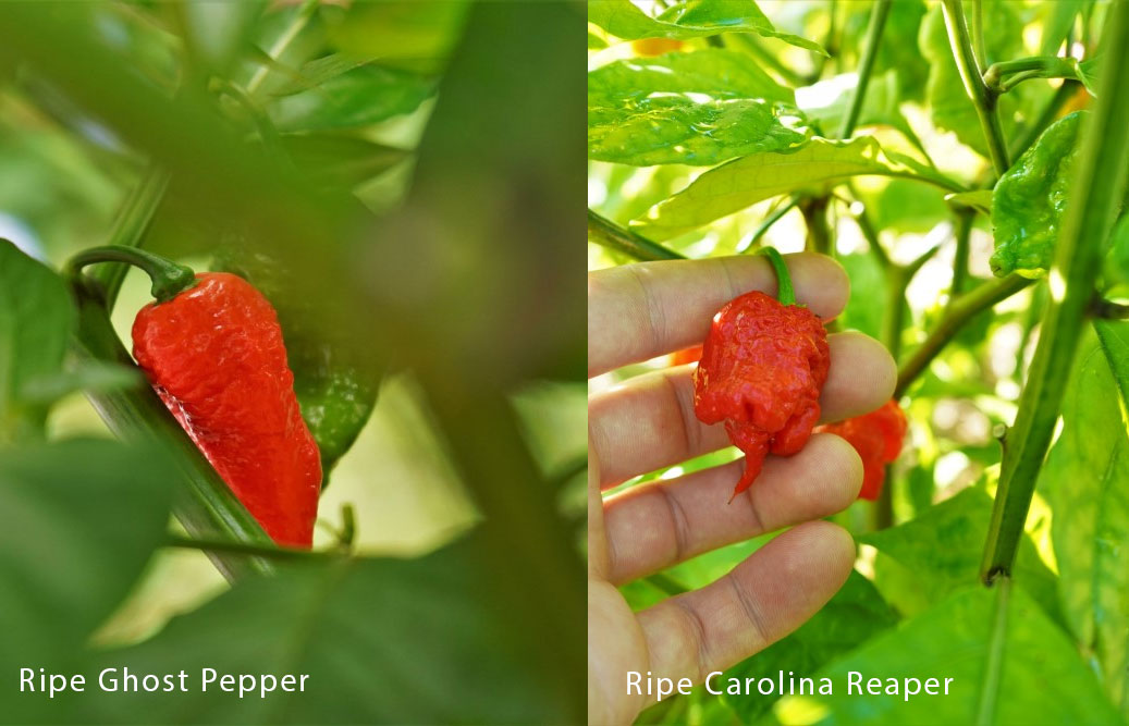 Ghost Pepper vs. Carolina Reaper on plant
